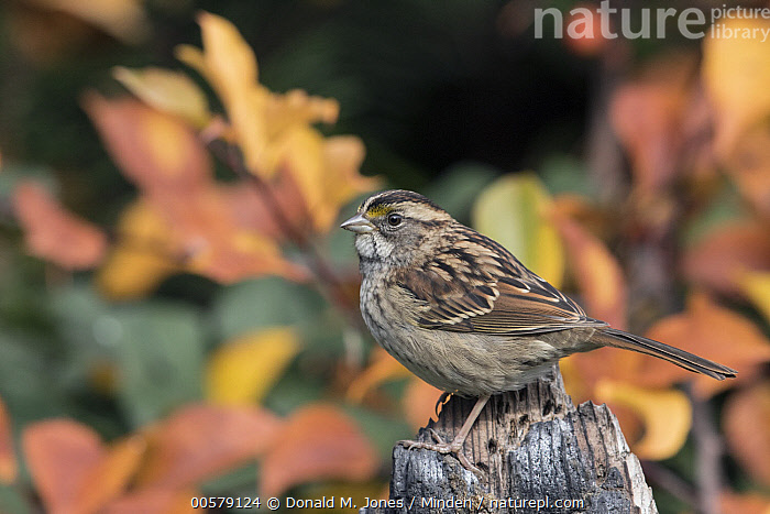 White-throated Sparrow (Zonotrichia albicollis) in auutmn, Troy, Montana  ,  Adult, Autumn, Color Image, Day, Fall Colors, Full Length, Horizontal, Montana, Nobody, One Animal, Outdoors, Photography, Side View, Songbird, Troy, White-throated Sparrow, Wildlife, Zonotrichia albicollis,White-throated Sparrow,Montana, USA  ,  Donald M. Jones