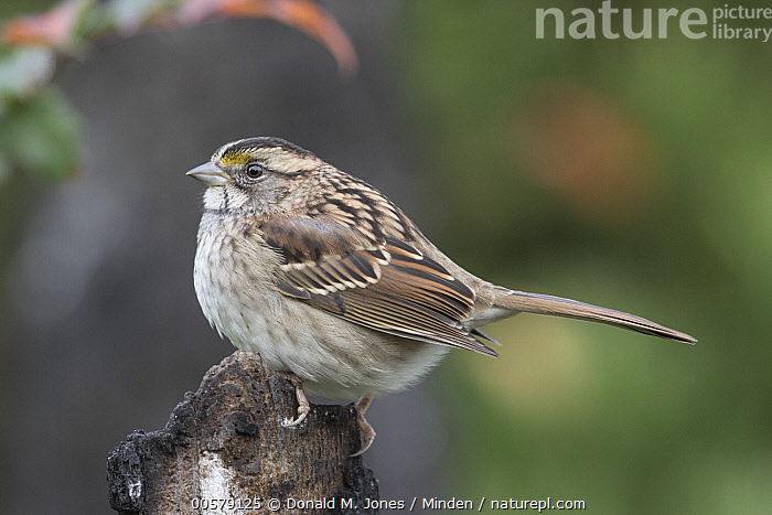 White-throated Sparrow (Zonotrichia albicollis), Troy, Montana  ,  Adult, Color Image, Day, Full Length, Horizontal, Montana, Nobody, One Animal, Outdoors, Photography, Side View, Songbird, Troy, White-throated Sparrow, Wildlife, Zonotrichia albicollis,White-throated Sparrow,Montana, USA  ,  Donald M. Jones