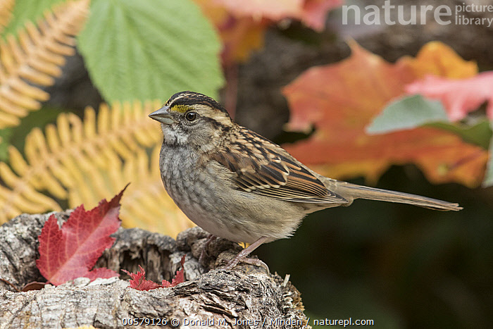 White-throated Sparrow (Zonotrichia albicollis) in autumn, Troy, Montana  ,  Adult, Autumn, Color Image, Day, Fall Colors, Full Length, Horizontal, Montana, Nobody, One Animal, Outdoors, Photography, Side View, Songbird, Troy, White-throated Sparrow, Wildlife, Zonotrichia albicollis,White-throated Sparrow,Montana, USA  ,  Donald M. Jones