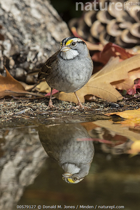 White-throated Sparrow (Zonotrichia albicollis) at pond, Troy, Montana  ,  Adult, Color Image, Day, Front View, Full Length, Montana, Nobody, One Animal, Outdoors, Photography, Pond, Reflection, Songbird, Troy, Vertical, White-throated Sparrow, Wildlife, Zonotrichia albicollis,White-throated Sparrow,Montana, USA  ,  Donald M. Jones