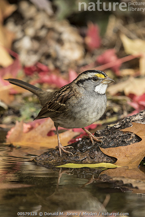 White-throated Sparrow (Zonotrichia albicollis) at pond in autumn, Troy, Montana  ,  Adult, Autumn, Color Image, Day, Full Length, Montana, Nobody, One Animal, Outdoors, Photography, Pond, Side View, Songbird, Troy, Vertical, White-throated Sparrow, Wildlife, Zonotrichia albicollis,White-throated Sparrow,Montana, USA  ,  Donald M. Jones