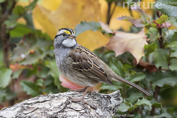 White-throated Sparrow (Zonotrichia albicollis) in autumn, Troy, Montana, Adult, Autumn, Color Image, Day, Full Length, Horizontal, Montana, Nobody, One Animal, Outdoors, Photography, Side View, Songbird, Troy, White-throated Sparrow, Wildlife, Zonotrichia albicollis,White-throated Sparrow,Montana, USA, Donald M. Jones