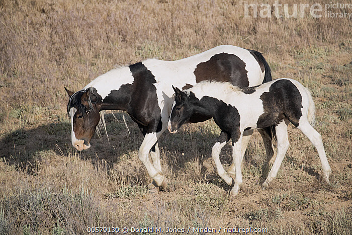 Wild Horse (Equus caballus) mother and colt, central Wyoming  ,  Adult, Baby, Color Image, Colt, Day, Equus caballus, Female, Full Length, Horizontal, Male, Mother, Nobody, Outdoors, Parent, Photography, Side View, Two Animals, Wild Horse, Wildlife, Wyoming,Wild Horse,Wyoming, USA  ,  Donald M. Jones