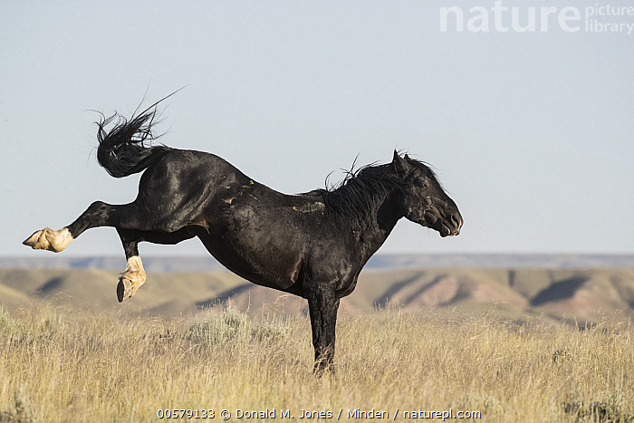 Wild Horse (Equus caballus) kicking, central Wyoming  ,  Adult, Color Image, Day, Equus caballus, Full Length, Horizontal, Kicking, Nobody, One Animal, Outdoors, Photography, Side View, Wild Horse, Wildlife, Wyoming,Wild Horse,Wyoming, USA  ,  Donald M. Jones