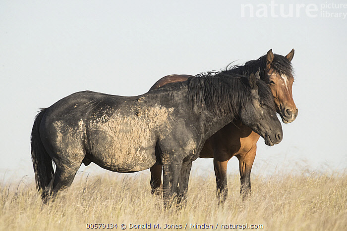 Wild Horse (Equus caballus) pair, central Wyoming  ,  Adult, Color Image, Day, Equus caballus, Full Length, Horizontal, Nobody, Outdoors, Photography, Side View, Two Animals, Wild Horse, Wildlife, Wyoming,Wild Horse,Wyoming, USA  ,  Donald M. Jones