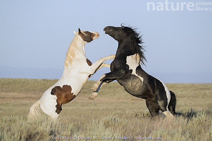 Wild Horse (Equus caballus) stallions fighting, central Wyoming  ,  Adult, Color Image, Competition, Day, Equus caballus, Fighting, Full Length, Horizontal, Kicking, Male, Nobody, Outdoors, Photography, Side View, Stallion, Standing, Two Animals, Wild Horse, Wildlife, Wyoming,Wild Horse,Wyoming, USA  ,  Donald M. Jones