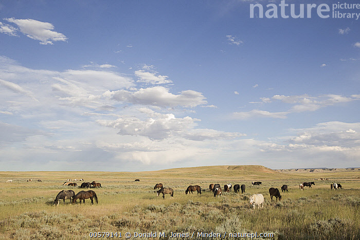 Wild Horse (Equus caballus) herd grazing in grassland, central Wyoming, Adult, Animal in Habitat, Color Image, Day, Equus caballus, Full Length, Grassland, Grazing, Herd, Horizon, Horizontal, Large Group of Animals, Nobody, Outdoors, Photography, Side View, Wild Horse, Wildlife, Wyoming,Wild Horse,Wyoming, USA, Donald M. Jones