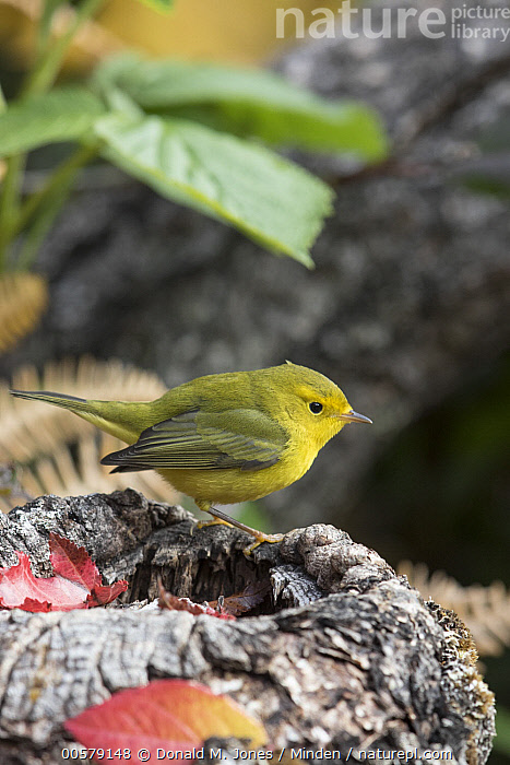 Wilson's Warbler (Cardellina pusilla) female, Troy, Montana  ,  Adult, Cardellina pusilla, Color Image, Day, Female, Full Length, Montana, Nobody, One Animal, Outdoors, Photography, Side View, Songbird, Troy, Vertical, Wildlife, Wilson's Warbler,Wilson's Warbler,Montana, USA  ,  Donald M. Jones