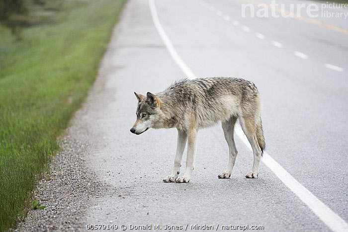 Wolf (Canis lupus) on road, British Columbia, Canada  ,  Adult, British Columbia, Canis lupus, Canada, Color Image, Day, Encroaching, Environmental Issue, Full Length, Habitat Loss, Horizontal, Nobody, One Animal, Outdoors, Photography, Road, Side View, Wildlife, Wolf,Wolf,Canada  ,  Donald M. Jones