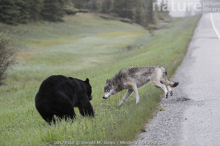 Black Bear (Ursus americanus) chasing Wolf (Canis lupus) near road, British Columbia, Canada  ,  Adult, Black Bear, British Columbia, Canis lupus, Canada, Chasing, Color Image, Competition, Day, Difference, Environmental Issue, Full Length, Habitat Loss, Horizontal, Mixed, Nobody, Outdoors, Photography, Road, Side View, Two Animals, Ursus americanus, Wildlife, Wolf,Black Bear,Wolf,Canis lupus,Canada  ,  Donald M. Jones