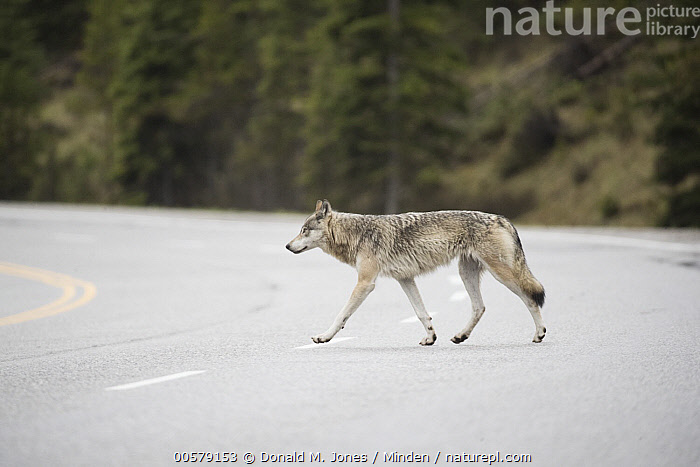 Wolf (Canis lupus) crossing highway, British Columbia, Canada  ,  Adult, British Columbia, Canis lupus, Canada, Color Image, Crossing, Day, Full Length, Highway, Horizontal, Nobody, One Animal, Outdoors, Pavement, Photography, Road, Side View, Wildlife, Wolf,Wolf,Canada  ,  Donald M. Jones