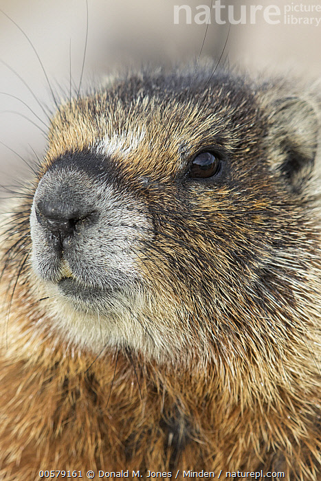 Yellow-bellied Marmot (Marmota flaviventris), central Montana, Adult, Color Image, Day, Front View, Head and Shoulders, Marmota flaviventris, Montana, Nobody, One Animal, Outdoors, Photography, Portrait, Vertical, Wildlife, Yellow-bellied Marmot,Yellow-bellied Marmot,Montana, USA, Donald M. Jones