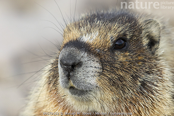Yellow-bellied Marmot (Marmota flaviventris), central Montana  ,  Adult, Color Image, Day, Front View, Head and Shoulders, Horizontal, Marmota flaviventris, Montana, Nobody, One Animal, Outdoors, Photography, Portrait, Wildlife, Yellow-bellied Marmot,Yellow-bellied Marmot,Montana, USA  ,  Donald M. Jones