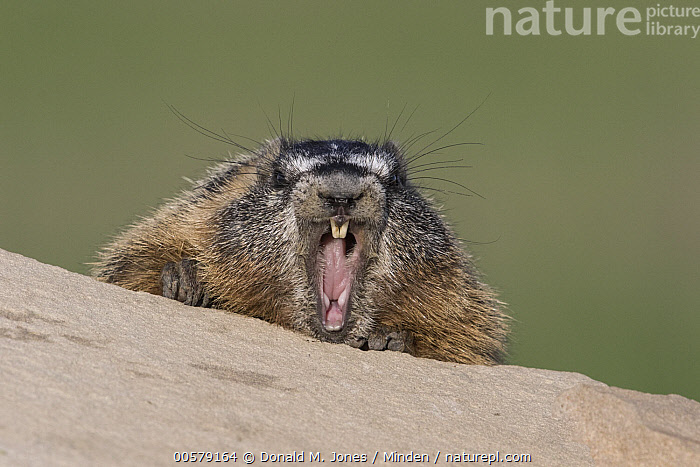 Yellow-bellied Marmot (Marmota flaviventris) yawning, central Montana  ,  Adult, Color Image, Day, Front View, Head and Shoulders, Horizontal, Looking at Camera, Marmota flaviventris, Montana, Nobody, One Animal, Open Mouth, Outdoors, Photography, Portrait, Wildlife, Yawning, Yellow-bellied Marmot,Yellow-bellied Marmot,Montana, USA  ,  Donald M. Jones
