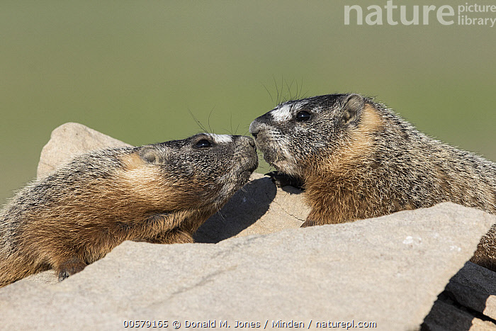 Yellow-bellied Marmot (Marmota flaviventris) pair greeting, central Montana  ,  Adult, Color Image, Day, Facing, Greeting, Horizontal, Marmota flaviventris, Montana, Nobody, Outdoors, Photography, Side View, Touching, Two Animals, Waist Up, Wildlife, Yellow-bellied Marmot,Yellow-bellied Marmot,Montana, USA  ,  Donald M. Jones