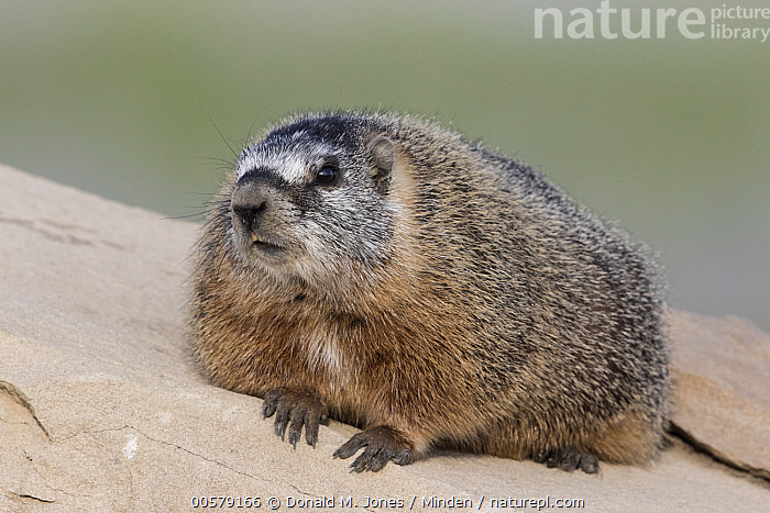 Yellow-bellied Marmot (Marmota flaviventris), central Montana  ,  Adult, Color Image, Day, Full Length, Horizontal, Marmota flaviventris, Montana, Nobody, One Animal, Outdoors, Photography, Side View, Wildlife, Yellow-bellied Marmot,Yellow-bellied Marmot,Montana, USA  ,  Donald M. Jones