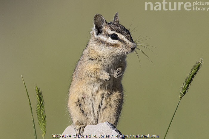 Yellow-pine Chipmunk (Tamias amoenus), western Montana  ,  Adult, Color Image, Cute, Day, Front View, Horizontal, Montana, Nobody, One Animal, Outdoors, Photography, Tamias amoenus, Three Quarter Length, Wildlife, Yellow-pine Chipmunk,Yellow-pine Chipmunk,Montana, USA  ,  Donald M. Jones