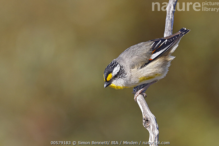 Striated Pardalote (Pardalotus striatus), South Australia, Australia  ,  Adult, Australia, Color Image, Day, Full Length, Horizontal, Nobody, One Animal, Outdoors, Pardalotus striatus, Photography, Side View, Songbird, South Australia, Striated Pardalote, Wildlife,Striated Pardalote,Australia  ,  Simon Bennett/ BIA