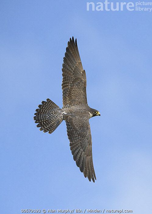 Peregrine Falcon (Falco peregrinus) flying, Texas  ,  Adult, Color Image, Day, Falco peregrinus, Flying, Full Length, Nobody, One Animal, Outdoors, Peregrine Falcon, Photography, Raptor, Side View, Texas, Top View, Vertical, Wildlife,Peregrine Falcon,Texas, USA  ,  Alan Murphy/ BIA