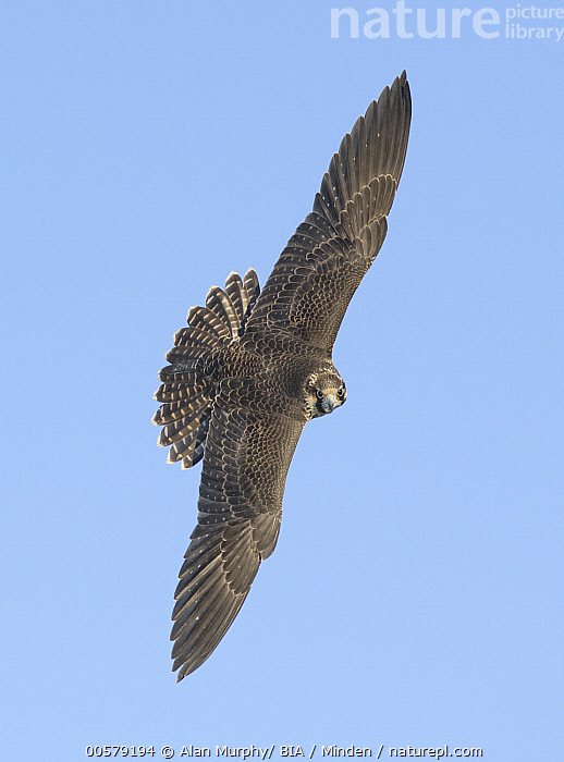 Peregrine Falcon (Falco peregrinus) flying, Texas  ,  Adult, Color Image, Day, Falco peregrinus, Flying, Full Length, Looking at Camera, Nobody, One Animal, Outdoors, Peregrine Falcon, Photography, Raptor, Side View, Texas, Top View, Vertical, Wildlife,Peregrine Falcon,Texas, USA  ,  Alan Murphy/ BIA