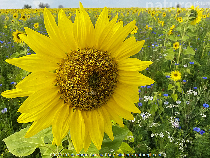 Common Sunflower (Helianthus annuus) and Cornflower (Centaurea cyanus) field, Hesse, Germany  ,  Adult, Centaurea cyanus, Color Image, Common Sunflower, Cornflower, Day, Field, Flower, Germany, Helianthus annuus, Hesse, Horizon, Horizontal, Landscape, Nobody, Outdoors, Photography, Yellow,Common Sunflower,Cornflower,Centaurea cyanus,Germany  ,  Martin Grimm/ BIA