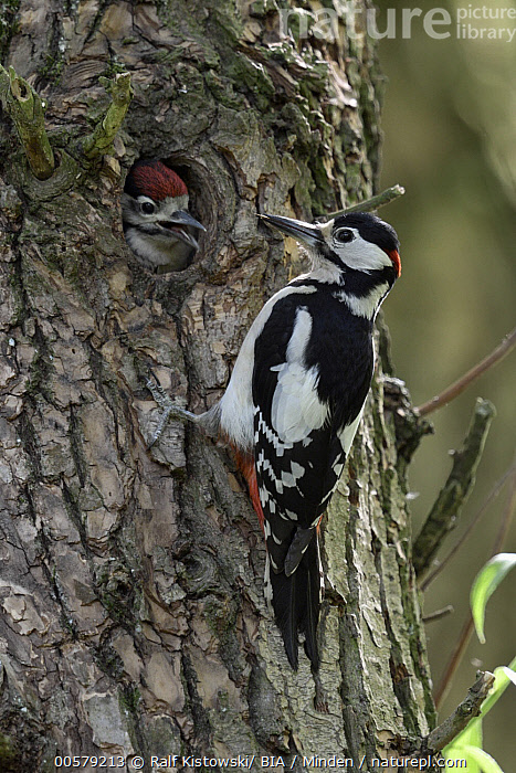 Great Spotted Woodpecker (Dendrocopos major) father with chick at nest cavity, North Rhine-Westphalia, Germany  ,  Adult, Baby, Chick, Color Image, Day, Dendrocopos major, Father, Full Length, Germany, Great Spotted Woodpecker, Head and Shoulders, Male, Nest Cavity, Nobody, North Rhine-Westphalia, Outdoors, Parent, Photography, Side View, Two Animals, Vertical, Wildlife,Great Spotted Woodpecker,Germany  ,  Ralf Kistowski/ BIA