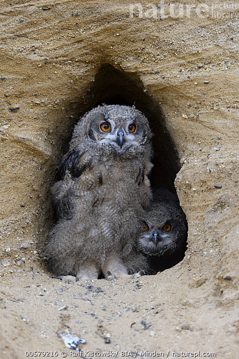 Eurasian Eagle-Owl (Bubo bubo) chicks at nest cavity, North Rhine-Westphalia, Germany  ,  Baby, Bubo bubo, Chick, Color Image, Day, Eurasian Eagle-Owl, Front View, Full Length, Germany, Looking at Camera, Nest Cavity, Nobody, North Rhine-Westphalia, Outdoors, Photography, Raptor, Two Animals, Vertical, Wildlife,Eurasian Eagle-Owl,Germany  ,  Ralf Kistowski/ BIA