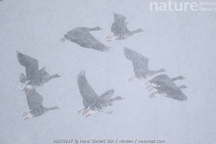 White-fronted Goose (Anser albifrons) group flying in blowing snow, North Rhine-Westphalia, Germany  ,  Adult, Adversity, Anser albifrons, Color Image, Day, Flock, Flying, Full Length, Germany, Horizontal, Medium Group of Animals, Nobody, North Rhine-Westphalia, Outdoors, Photography, Side View, Snowing, Snowstorm, Storm, Waterfowl, White-fronted Goose, Wildlife,White-fronted Goose,Germany  ,  Hans Glader/ BIA