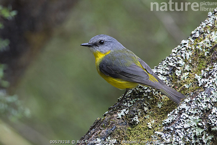 Yellow Robin (Eopsaltria australis), Victoria, Australia, Adult, Australia, Color Image, Day, Eopsaltria australis, Full Length, Horizontal, Nobody, One Animal, Outdoors, Photography, Side View, Songbird, Victoria, Wildlife, Yellow Robin,Yellow Robin,Australia, Rob Drummond/ BIA