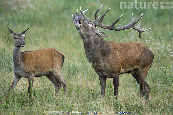 Red Deer (Cervus elaphus) stag calling next to female, Denmark  ,  Adult, Bugling, Calling, Cervus elaphus, Color Image, Day, Denmark, Dimorphic, Female, Full Length, Horizontal, Male, Nobody, Open Mouth, Outdoors, Photography, Red Deer, Sexual Dimorphism, Side View, Stag, Two Animals, Wildlife,Red Deer,Denmark  ,  Willi Rolfes/ BIA
