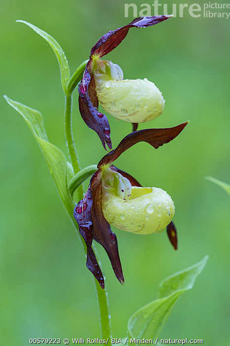 Pink Lady Slipper Orchid (Cypripedium calceolus) flowers, Lower Saxony, Germany  ,  Adult, Color Image, Cypripedium calceolus, Day, Flower, Germany, Lower Saxony, Nobody, Outdoors, Photography, Pink Lady Slipper Orchid, Vertical, Wildflower,Pink Lady Slipper Orchid,Germany  ,  Willi Rolfes/ BIA