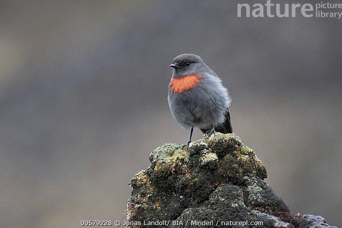 Snow Mountain Robin (Petroica archboldi), West Papua, Indonesia  ,  Adult, Color Image, Day, Front View, Full Length, Horizontal, Indonesia, Nobody, One Animal, Outdoors, Petroica archboldi, Photography, Snow Mountain Robin, Songbird, West Papua, Wildlife,Snow Mountain Robin,Indonesia  ,  Jonas Landolt/ BIA