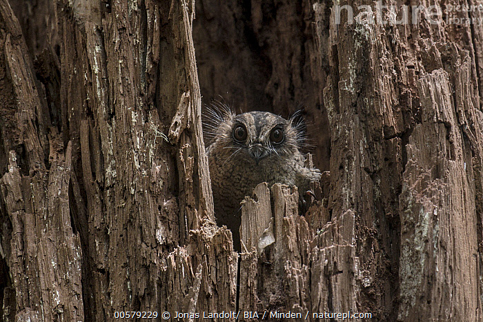 Vogelkop Owlet-nightjar (Aegotheles affinis) in nest cavity, West Papua, Indonesia, Adult, Aegotheles affinis, Color Image, Day, Front View, Full Length, Horizontal, Indonesia, Looking at Camera, Nest Cavity, Nobody, One Animal, Outdoors, Photography, Vogelkop Owlet-nightjar, West Papua, Wildlife,Vogelkop Owlet-nightjar,Indonesia, Jonas Landolt/ BIA