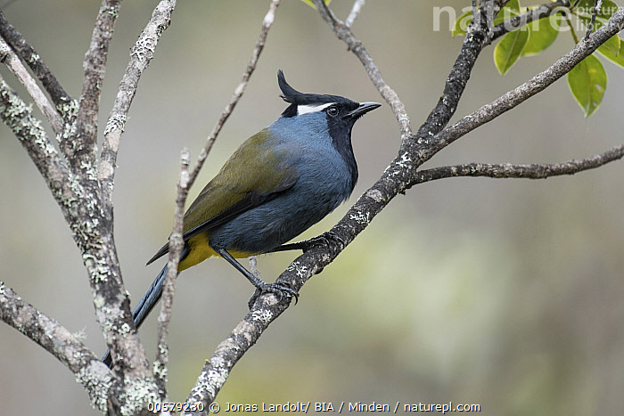 Crested Berrypecker (Paramythia montium), West Papua, Indonesia  ,  Adult, Color Image, Crested Berrypecker, Day, Full Length, Horizontal, Indonesia, Nobody, One Animal, Outdoors, Paramythia montium, Photography, Side View, Songbird, West Papua, Wildlife,Crested Berrypecker,Indonesia  ,  Jonas Landolt/ BIA