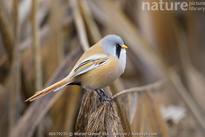 Bearded Tit (Panurus biarmicus) male, Baden-Wurttemberg, Germany  ,  Adult, Baden-Wurttemberg, Bearded Tit, Color Image, Day, Full Length, Germany, Horizontal, Male, Nobody, One Animal, Outdoors, Panurus biarmicus, Photography, Side View, Songbird, Wildlife,Bearded Tit,Germany  ,  Martin Grimm/ BIA