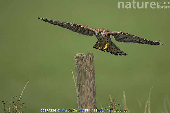 Eurasian Kestrel (Falco tinnunculus) landing, Rhineland-Palatinate, Germany  ,  Adult, Color Image, Day, Eurasian Kestrel, Falco tinnunculus, Flying, Front View, Full Length, Germany, Horizontal, Landing, Nobody, One Animal, Outdoors, Photography, Raptor, Rhineland-Palatinate, Wildlife,Eurasian Kestrel,Germany  ,  Martin Grimm/ BIA