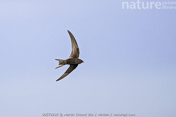Common Swift (Apus apus) flying, Baden-Wurttemberg, Germany  ,  Adult, Apus apus, Baden-Wurttemberg, Color Image, Common Swift, Day, Flying, Full Length, Germany, Horizontal, Nobody, One Animal, Outdoors, Photography, Side View, Wildlife,Common Swift,Germany  ,  Martin Grimm/ BIA