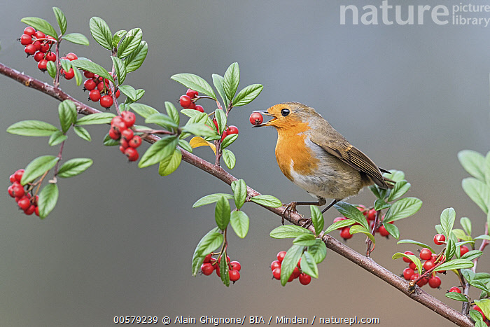 European Robin (Erithacus rubecula) feeding on berries, Aosta Valley, Italy, Adult, Aosta Valley, Berry, Color Image, Day, Eating, Erithacus rubecula, European Robin, Feeding, Full Length, Horizontal, Italy, Nobody, One Animal, Outdoors, Photography, Side View, Songbird, Wildlife,European Robin,Italy, Alain Ghignone/ BIA
