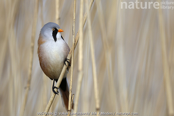 Bearded Tit (Panurus biarmicus) male, Mecklenburg-Vorpommern, Germany  ,  Adult, Bearded Tit, Color Image, Day, Front View, Full Length, Germany, Horizontal, Male, Mecklenburg-Vorpommern, Nobody, One Animal, Outdoors, Panurus biarmicus, Photography, Songbird, Wildlife,Bearded Tit,Germany  ,  Volker Lautenbach/ BIA