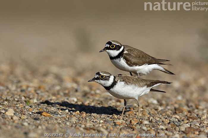 Little Ringed Plover (Charadrius dubius) pair mating, Saxony-Anhalt, Germany, Adult, Charadrius dubius, Color Image, Day, Female, Full Length, Germany, Horizontal, Little Ringed Plover, Male, Mating, Nobody, Outdoors, Photography, Saxony-Anhalt, Shorebird, Side View, Two Animals, Wildlife,Little Ringed Plover,Germany, Volker Lautenbach/ BIA