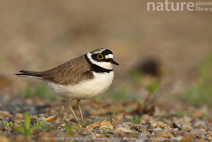 Little Ringed Plover (Charadrius dubius), Saxony-Anhalt, Germany  ,  Adult, Charadrius dubius, Color Image, Day, Full Length, Germany, Horizontal, Little Ringed Plover, Nobody, One Animal, Outdoors, Photography, Saxony-Anhalt, Shorebird, Side View, Wildlife,Little Ringed Plover,Germany  ,  Volker Lautenbach/ BIA