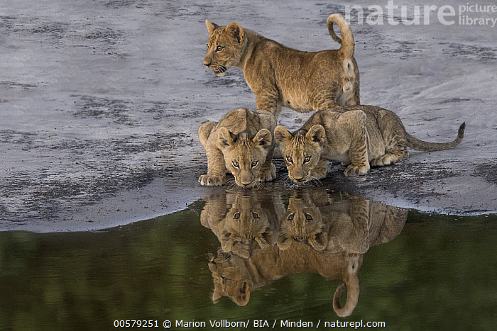 African Lion (Panthera leo) cubs drinking at waterhole, Okavango Delta, Botswana, African Lion, Baby, Botswana, Color Image, Cub, Cute, Day, Drinking, Front View, Full Length, Horizontal, Nobody, Okavango Delta, Outdoors, Panthera leo, Photography, Reflection, Sibling, Side View, Threatened Species, Three Animals, Vulnerable Species, Waterhole, Wildlife,African Lion,Botswana, Marion Vollborn/ BIA