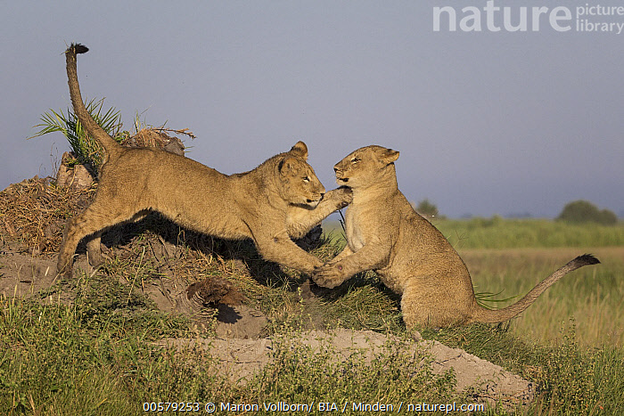 African Lion (Panthera leo) cubs playing, Okavango Delta, Botswana, African Lion, Baby, Botswana, Color Image, Cub, Day, Full Length, Horizontal, Nobody, Okavango Delta, Outdoors, Panthera leo, Photography, Playing, Side View, Threatened Species, Two Animals, Vulnerable Species, Wildlife,African Lion,Botswana, Marion Vollborn/ BIA