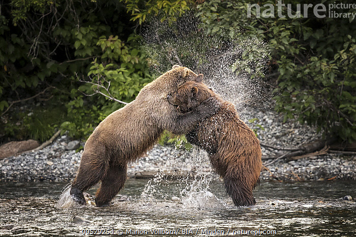 Grizzly Bear (Ursus arctos horribilis) pair fighting, British Columbia, Canada  ,  Adult, British Columbia, Canada, Color Image, Competition, Day, Fighting, Full Length, Grizzly Bear, Horizontal, Nobody, Outdoors, Photography, Side View, Splashing, Two Animals, Ursus arctos horribilis, Wildlife,Grizzly Bear,Canada  ,  Marion Vollborn/ BIA