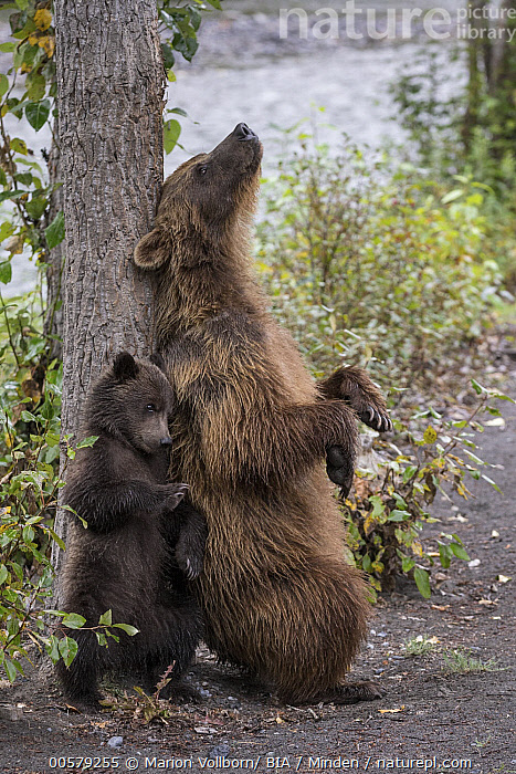 Grizzly Bear (Ursus arctos horribilis) mother and cub scratching themselves on tree, British Columbia, Canada  ,  Adult, Baby, British Columbia, Canada, Color Image, Cub, Day, Female, Full Length, Grizzly Bear, Humor, Mother, Nobody, Outdoors, Parent, Photography, Rubbing, Scratching, Side View, Two Animals, Ursus arctos horribilis, Vertical, Wildlife,Grizzly Bear,Canada  ,  Marion Vollborn/ BIA