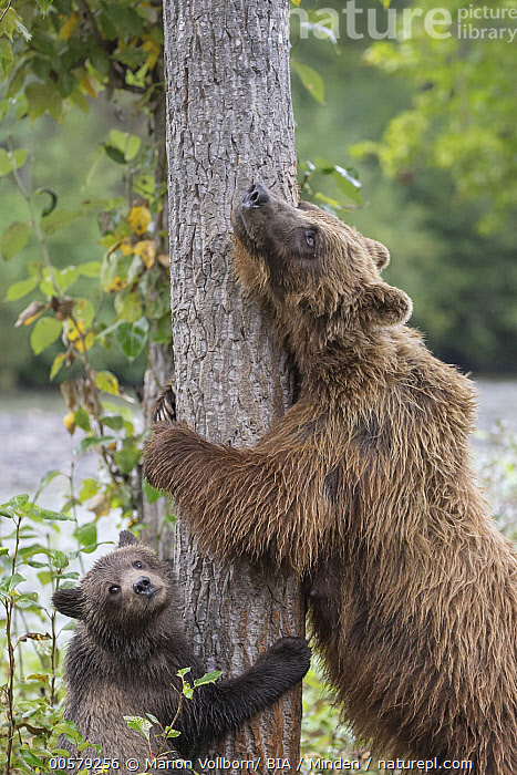 Grizzly Bear (Ursus arctos horribilis) mother and cub scratching themselves on tree, British Columbia, Canada, Adult, Baby, British Columbia, Canada, Color Image, Cub, Day, Female, Grizzly Bear, Humor, Looking at Camera, Mother, Nobody, Outdoors, Parent, Photography, Rubbing, Scratching, Side View, Two Animals, Ursus arctos horribilis, Vertical, Waist Up, Wildlife,Grizzly Bear,Canada, Marion Vollborn/ BIA