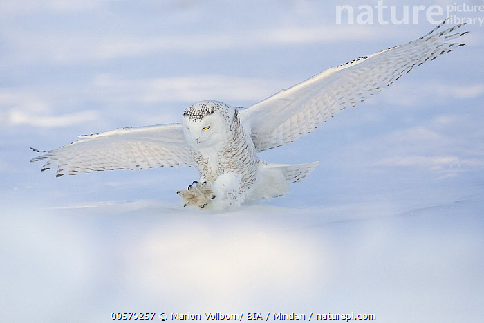 Snowy Owl (Nyctea scandiaca) hunting in winter, Quebec, Canada  ,  Adult, Camouflage, Canada, Color Image, Day, Flying, Full Length, Horizontal, Hunting, Landing, Nobody, Nyctea scandiaca, One Animal, Outdoors, Photography, Quebec, Raptor, Side View, Snow, Snowy Owl, Striking, White, Wildlife, Winter,Snowy Owl,Canada  ,  Marion Vollborn/ BIA