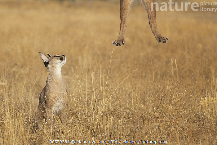 Caracal (Caracal caracal) sub-adult observing jumping caracal, Castile-La Mancha, Spain  ,  Captive, Caracal caracal, Caracal, Castile-La Mancha, Close Up, Color Image, Day, Front View, Full Length, Game Farm, Horizontal, Humor, Jumping, Leg, Nobody, Outdoors, Photography, Side View, Spain, Sub-Adult, Two Animals, Watching, Wildlife,Caracal,Spain  ,  Marion Vollborn/ BIA