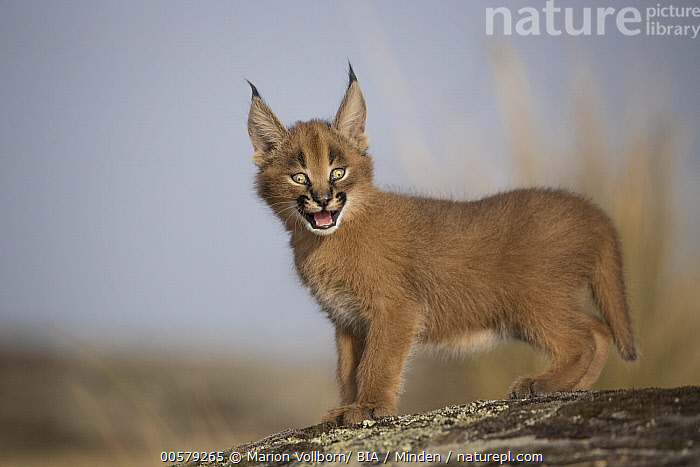Caracal (Caracal caracal) cub, Castile-La Mancha, Spain, Baby, Captive, Caracal caracal, Caracal, Castile-La Mancha, Color Image, Cub, Cute, Day, Full Length, Game Farm, Horizontal, Looking at Camera, Nobody, One Animal, Outdoors, Photography, Side View, Spain, Wildlife,Caracal,Spain, Marion Vollborn/ BIA