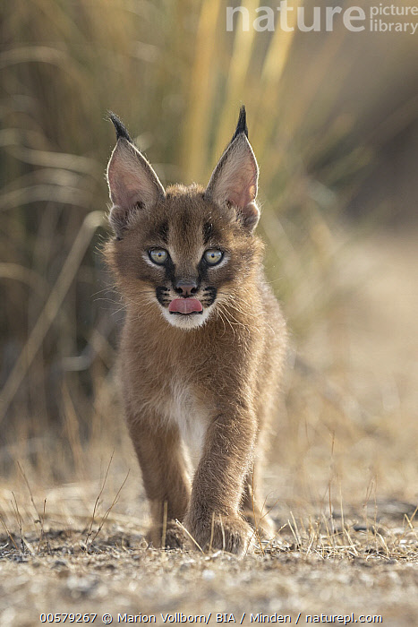 Caracal (Caracal caracal) cub, Castile-La Mancha, Spain  ,  Approaching, Baby, Captive, Caracal caracal, Caracal, Castile-La Mancha, Color Image, Cub, Cute, Day, Front View, Full Length, Game Farm, Looking at Camera, Nobody, One Animal, Outdoors, Photography, Spain, Tongue, Vertical, Wildlife,Caracal,Spain  ,  Marion Vollborn/ BIA